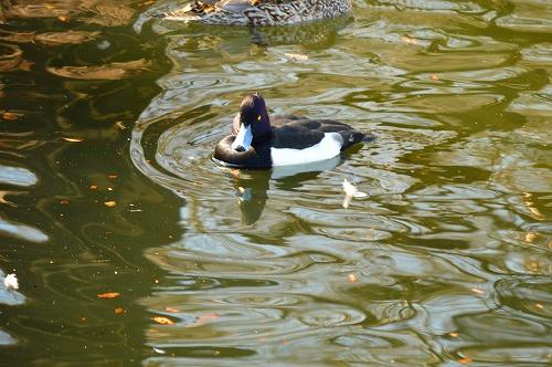 不忍の池の住人達 018