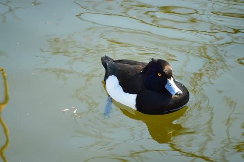 不忍の池の住人達 062