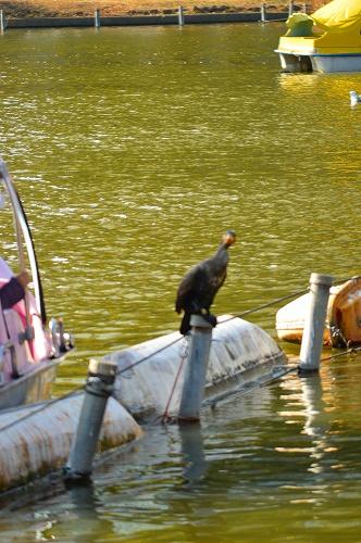 不忍の池の住人達 080