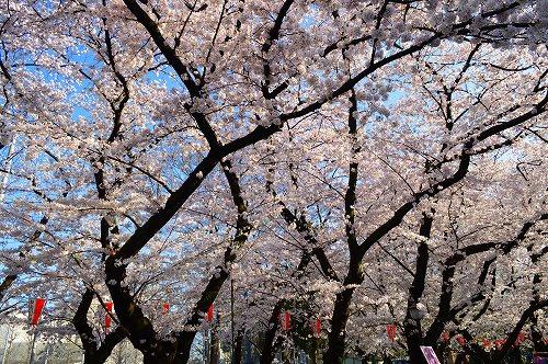 上野の桜0006