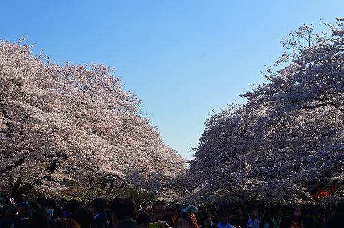 上野の桜0001