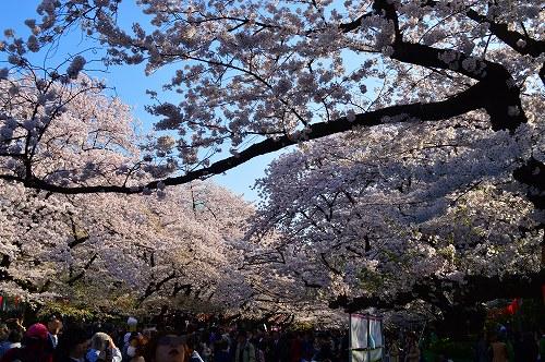 上野の桜0003