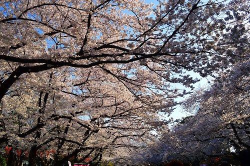上野の桜0007
