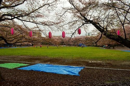 桜吹雪001