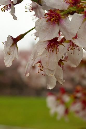 桜吹雪006