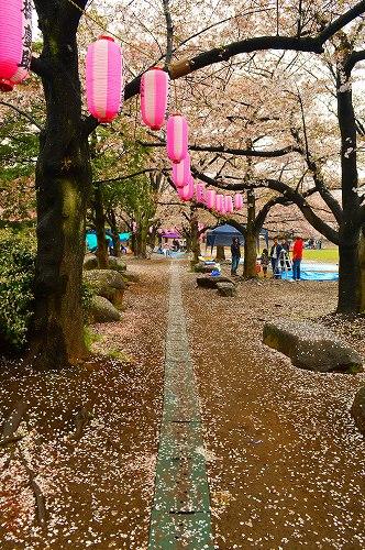 桜吹雪003