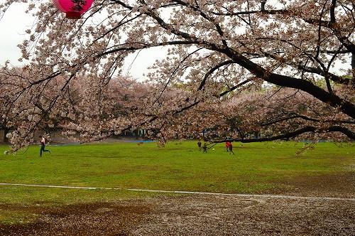桜吹雪005