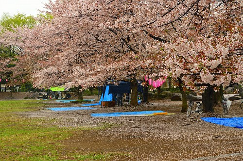 桜吹雪009