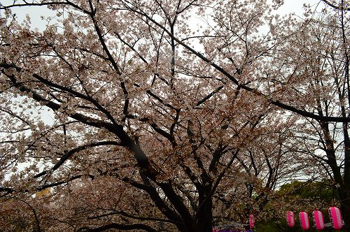 桜吹雪010