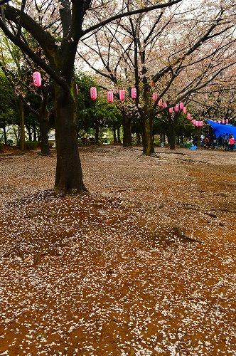 桜吹雪012