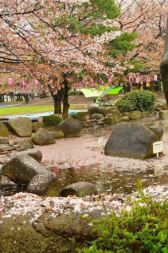 桜吹雪026