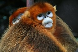250px-Golden_Snub-nosed_Monkeys.jpg