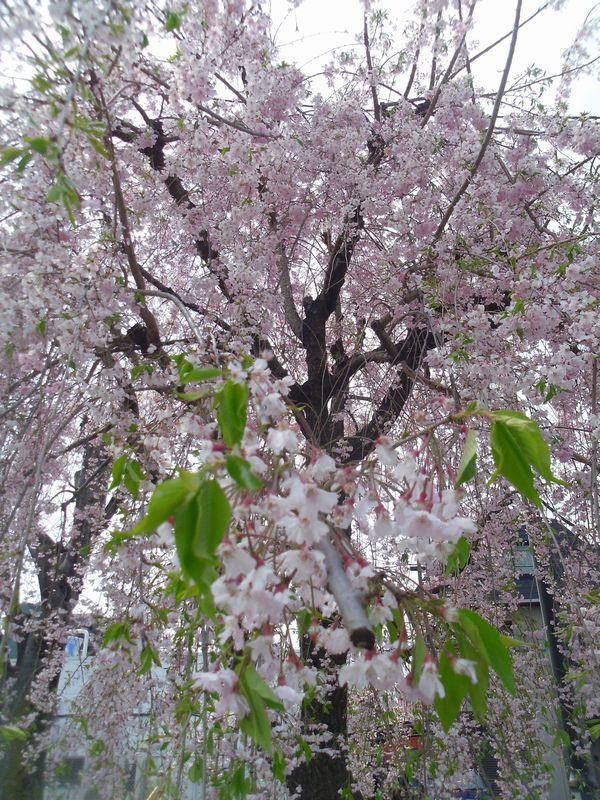 sakura_20150417014721fd6.jpg