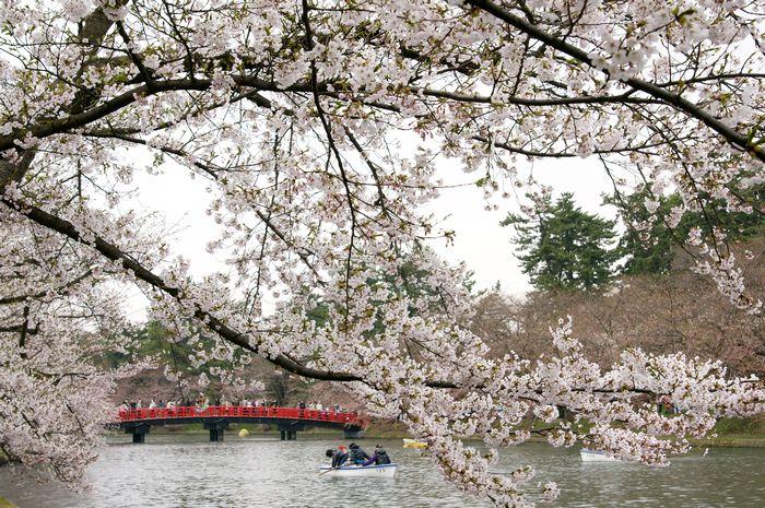 弘前城さくら11