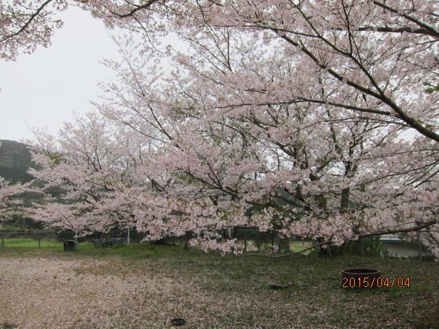 天神公園の桜3