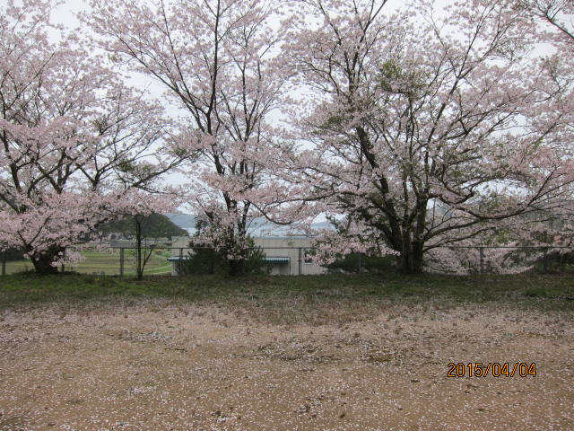 天神公園の桜4