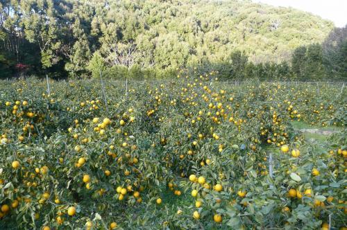 マイヤーレモンの畑