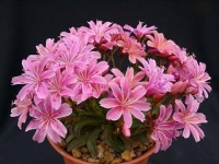 lewisia_little_plum.jpg