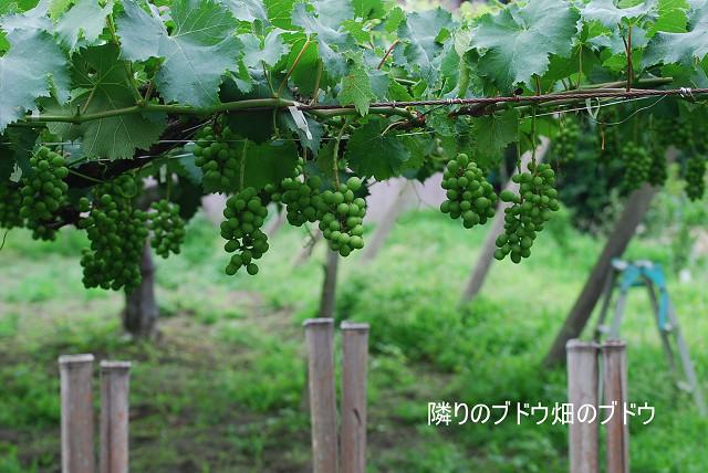 大きくなったブドウの実