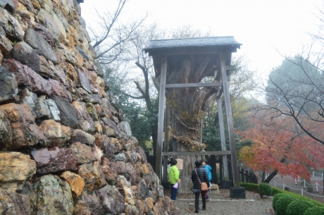 10野面積みの天守台と杉の木