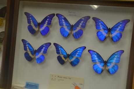 15モルフォ蝶