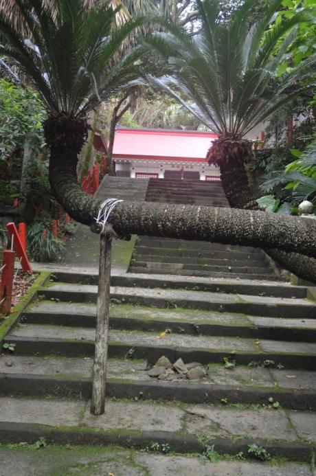 9ソテツがはみ出る御崎神社