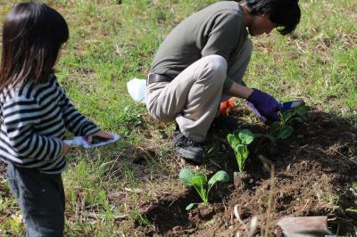 芽キャベツ植え付け