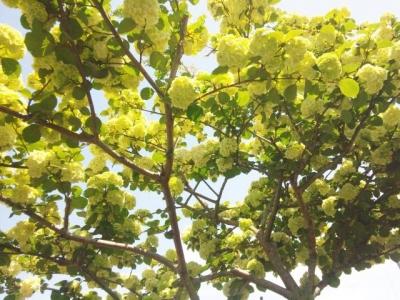 緑のオオデマリ