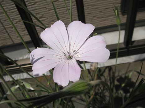 アグロステンマ桜貝 (1)
