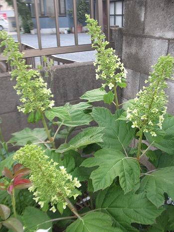 カシワバアジサイ (1)