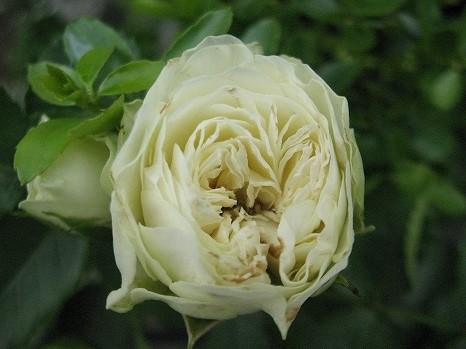 ホワイトマカロン (1)
