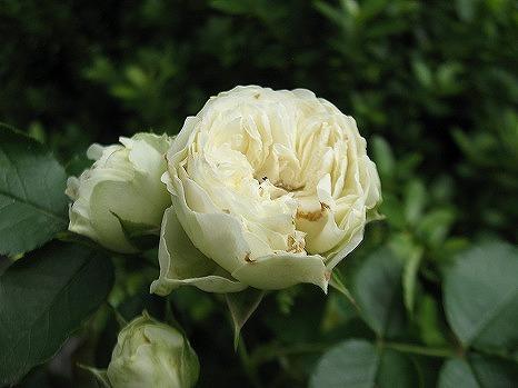 ホワイトマカロン (2)