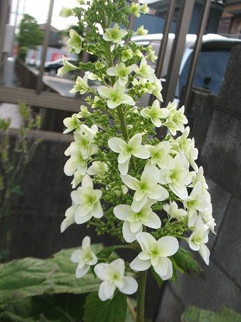 カシワバアジサイ (2)