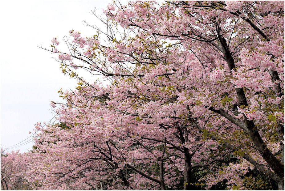 大寒桜??