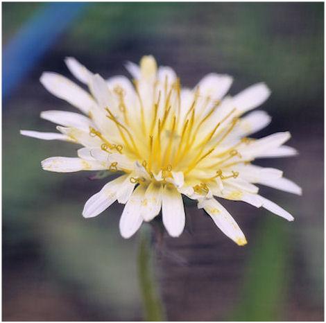 白花タンポポ