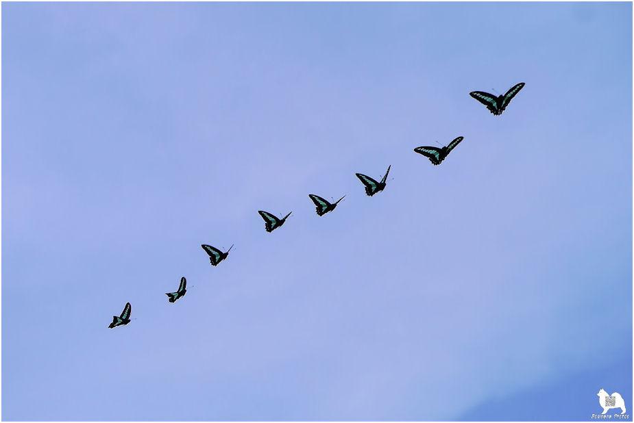 アオスジアゲハ飛翔