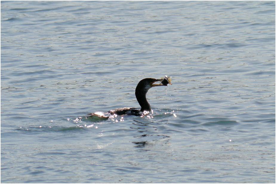海鵜 捕食シーン