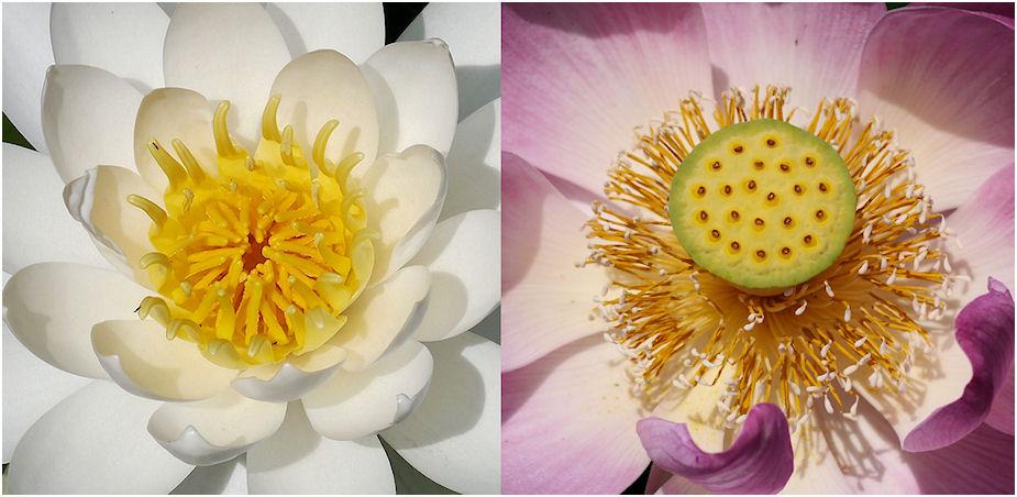 蓮と睡蓮の花