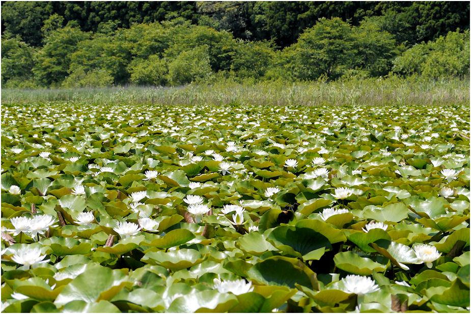 トンボの沼の睡蓮