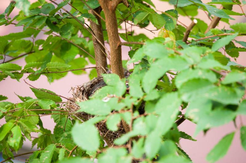 ヒヨドリの巣で