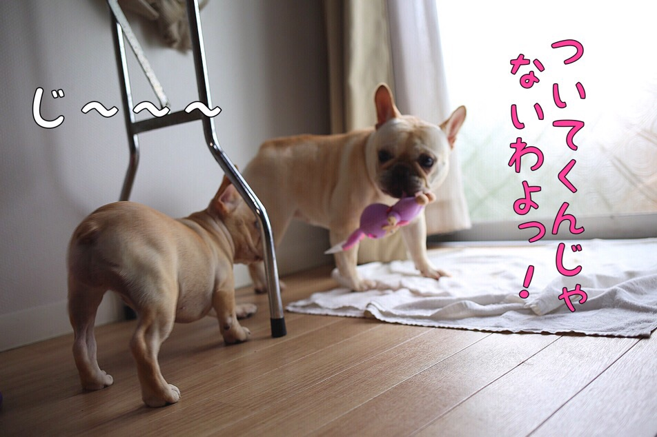 フレブル 子犬 チャンピオン 3