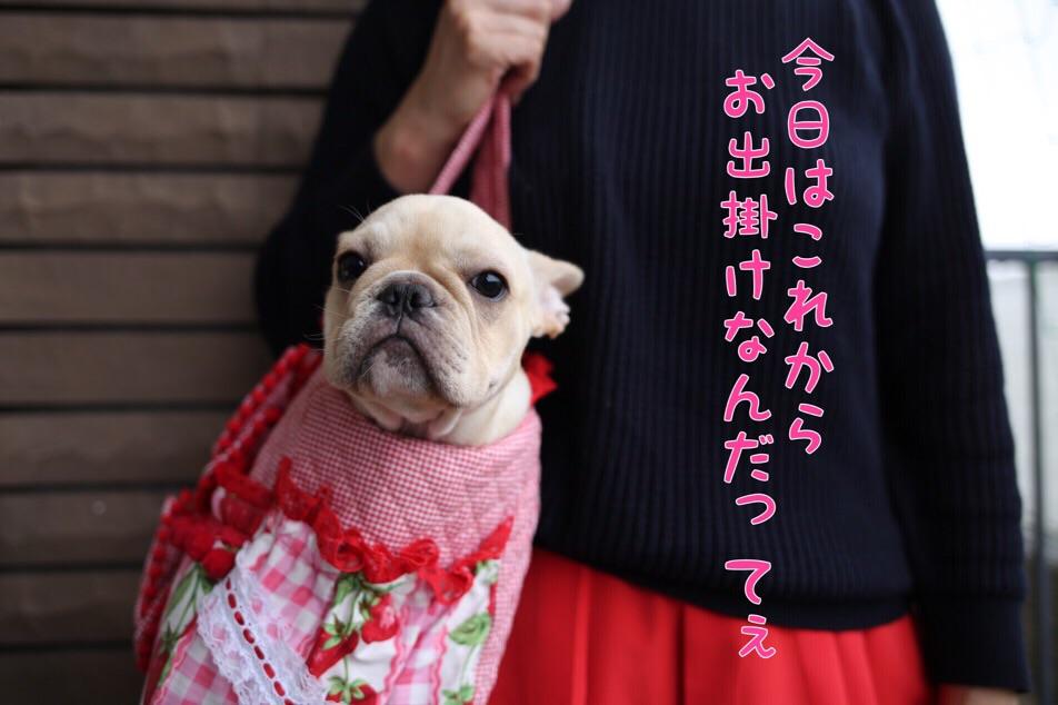 フレンチブルドッグ ブリーダー 子犬 古都丸 1