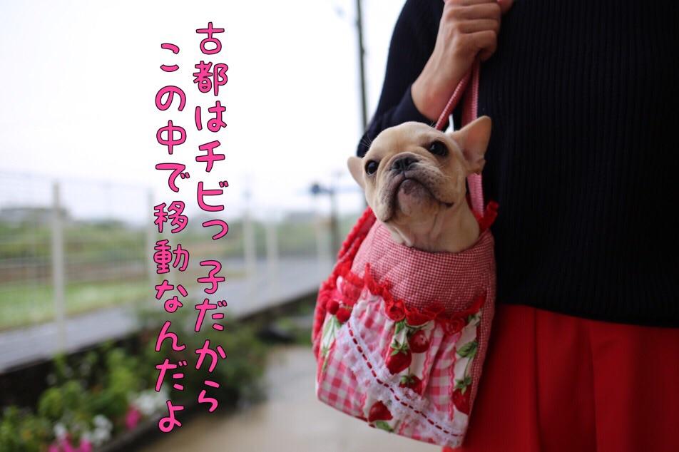 フレンチブルドッグ ブリーダー 子犬 古都丸 2