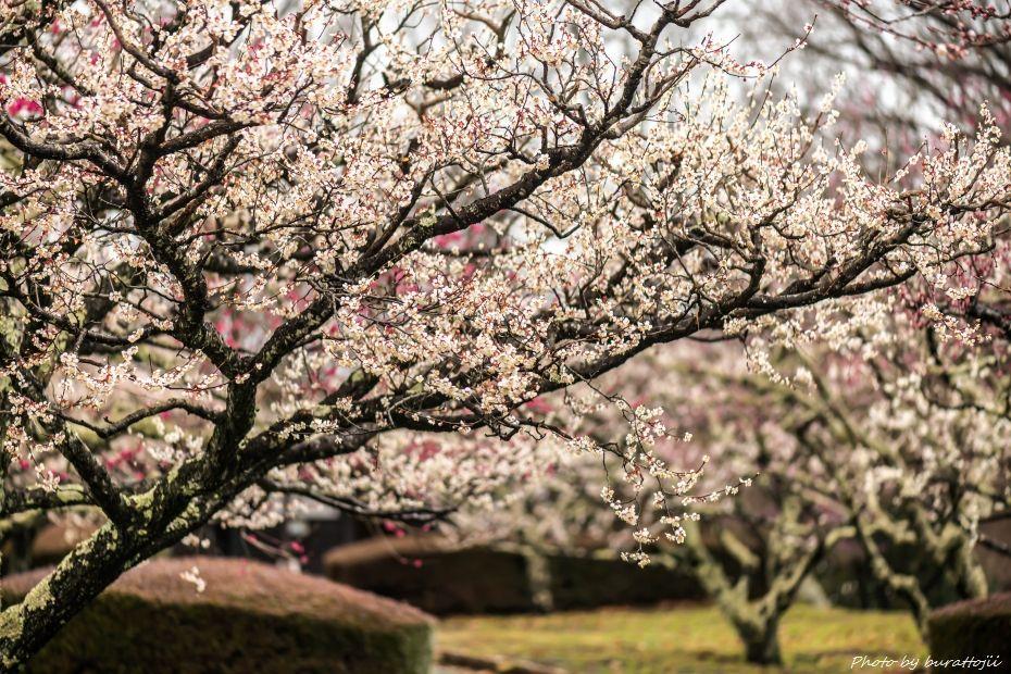 2015.03.04岩本山の梅と富士山3