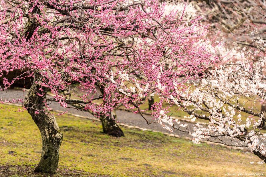 2015.03.04岩本山の梅と富士山2