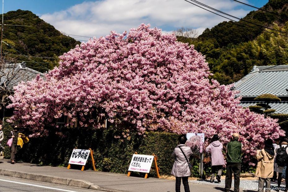 2015.03.05河津桜27