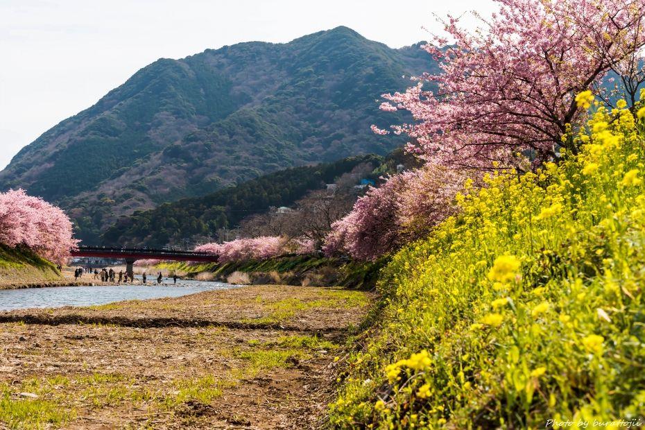 2015.03.05河津桜19