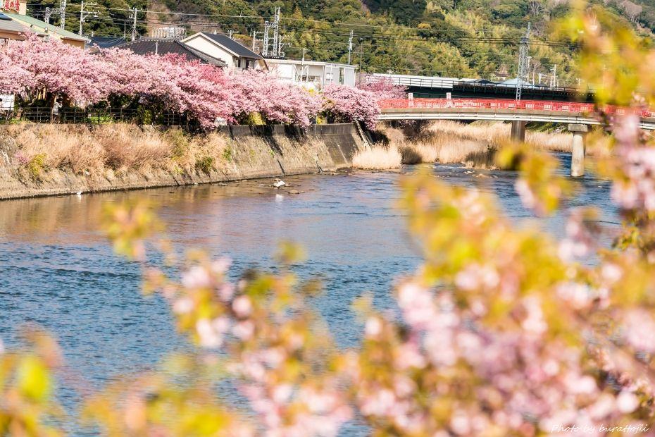 2015.03.05河津桜10