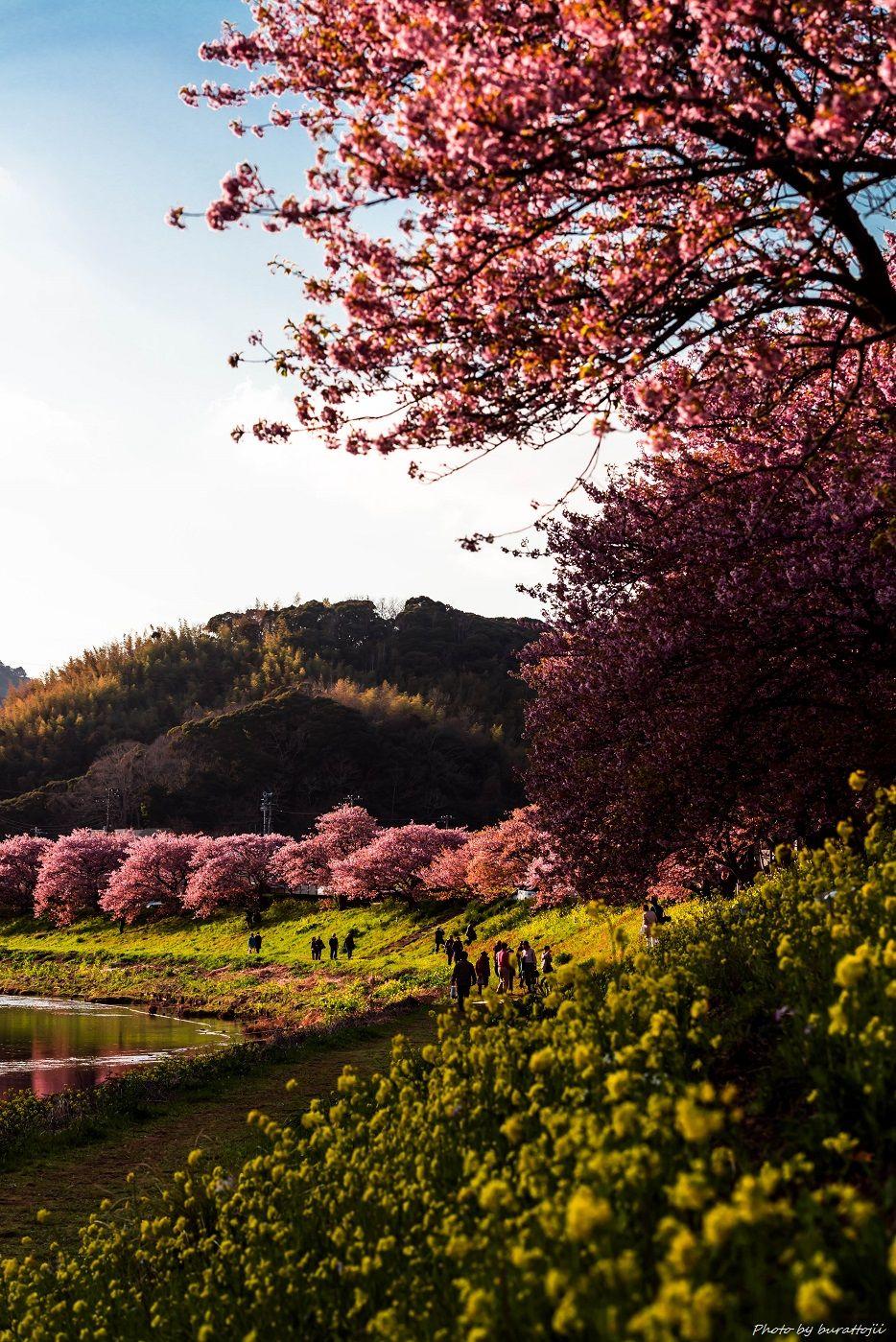 2015.03.05夜桜☆流れ星4