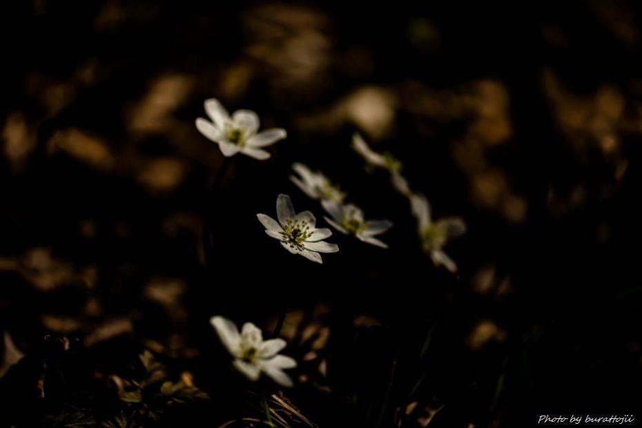 2015.03.17猿山雪割草19